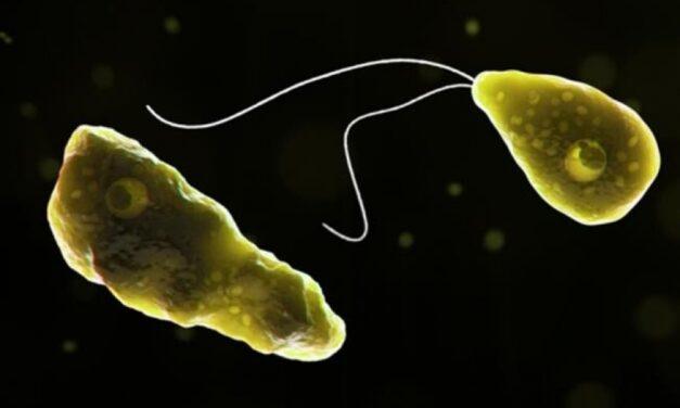 Ameba come cerebros