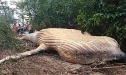 Aparece una ballena muerta en la selva del Amazonas
