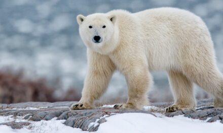 ¡Preocupante! Osos polares podrían extinguirse para finales de siglo