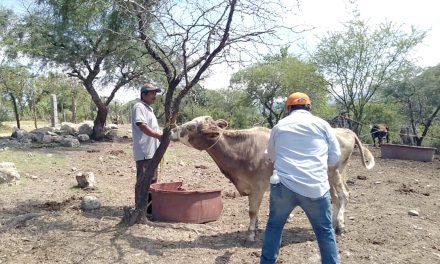 En Chietla, protegen contra la rabia a ganado bovino