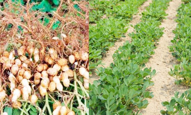 Productores realizan cosecha de cacahuate